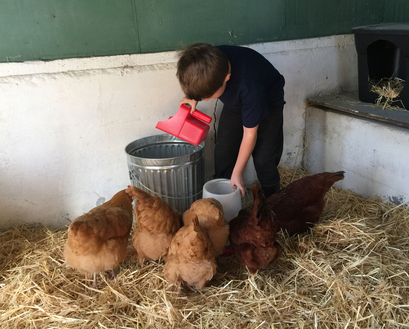 Morning chores: feeding chickens - Little Red Farmstead