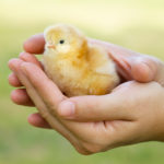 Holding a chick - Little Red Farmstead