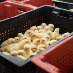 Chicks in crate | Little Red Farmstead