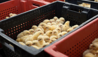 Truth or Fiction: Baby Chicks are Being Ground Up Alive