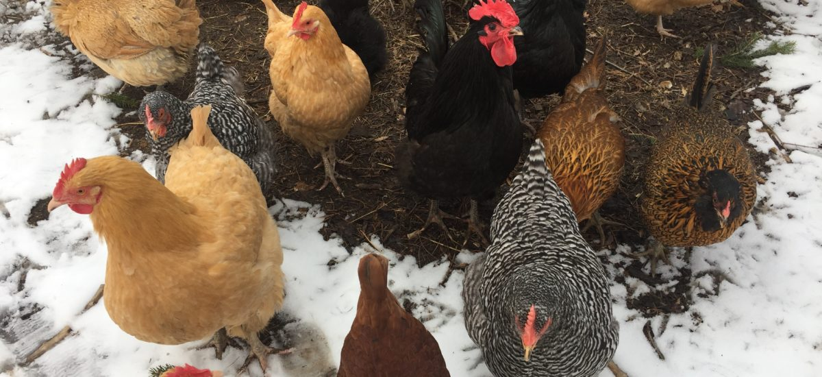 The Truth About Backyard Chickens: The Good, The Bad & The Ugly