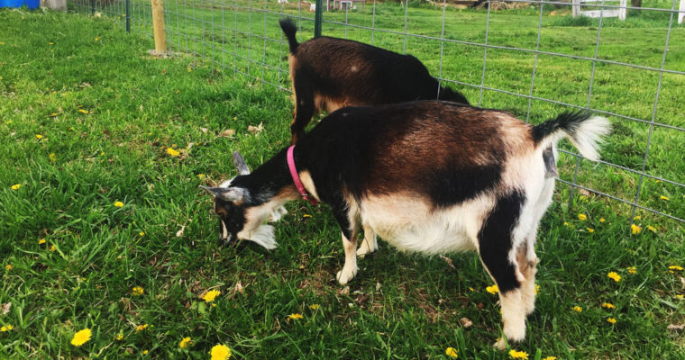5 Ways to Know If Your Goat Will Be Kidding Soon
