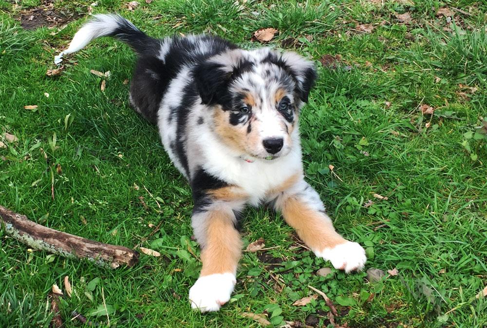 Our new Australian Shepherd, Crosby | Little Red Farmstead