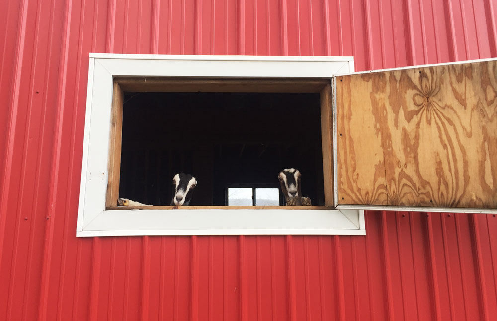 LaManchas peeking out of the barn | Little Red Farmstead