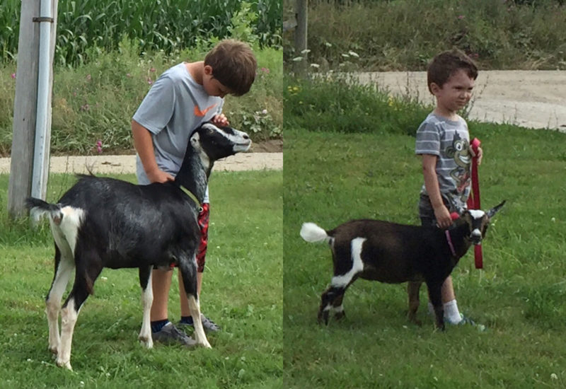 Ben and Myles practicing with their 4-H project goats
