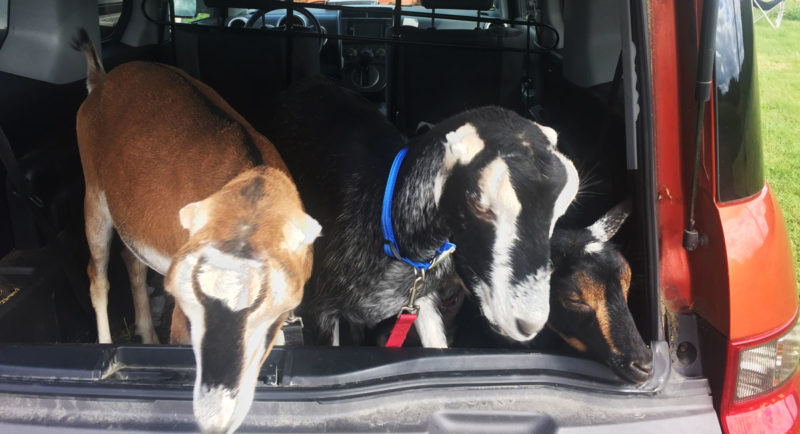 5 goats in a Honda Element