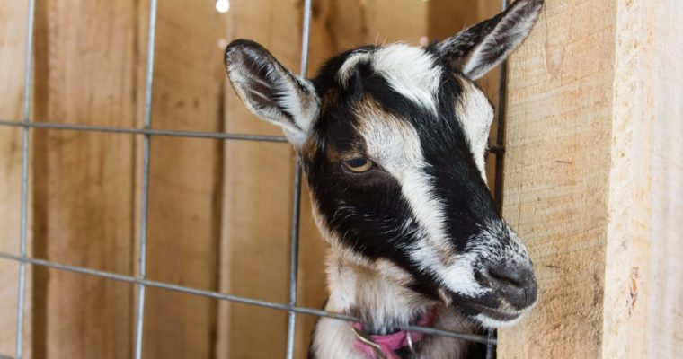 2017 Albion Fair, Goat Show Results & More